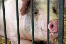 Agencja udziela pomocy producentom rolnym, którzy zaprzestali produkcji świń